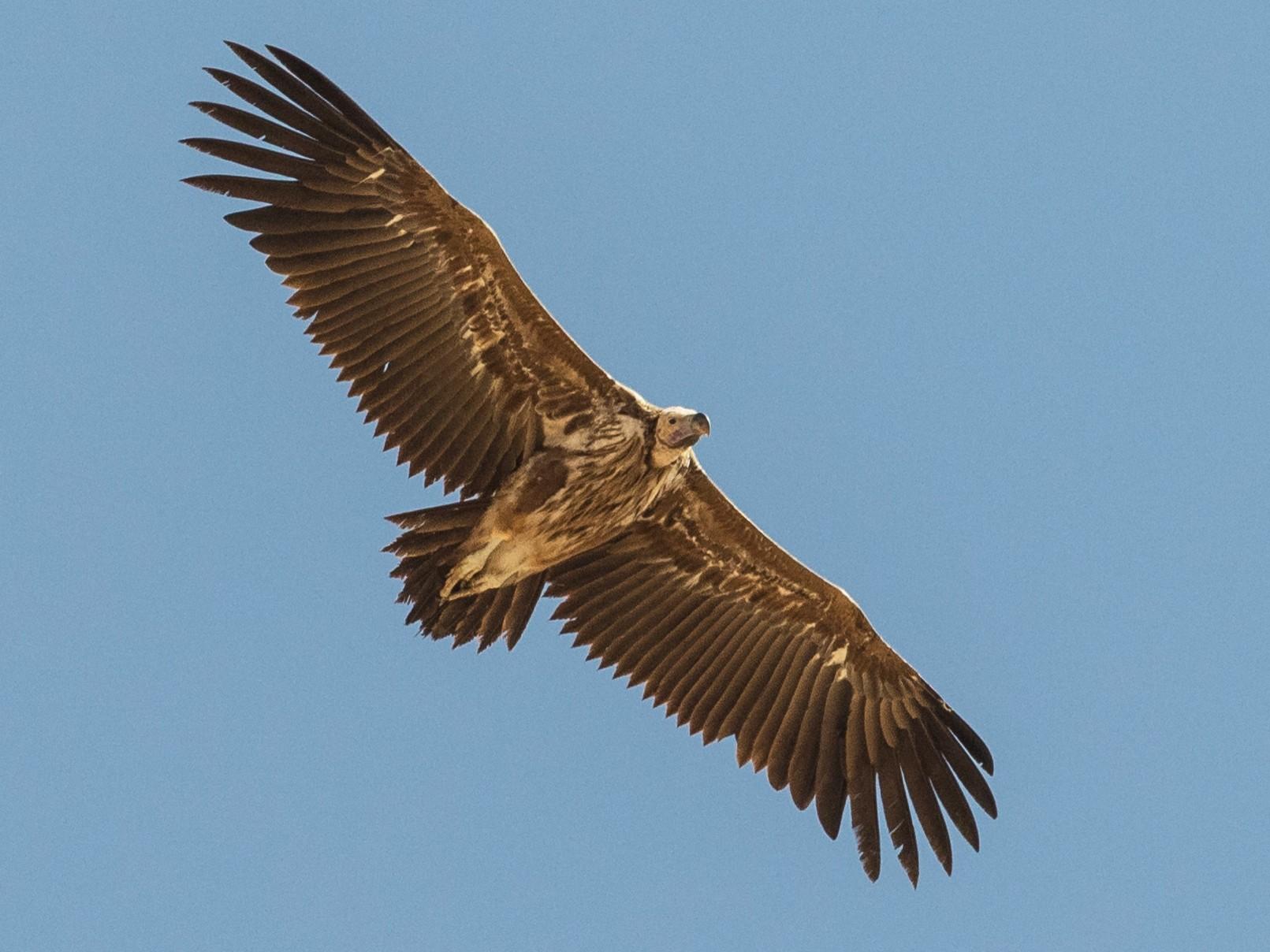 Lappet-faced Vulture - Markus Craig