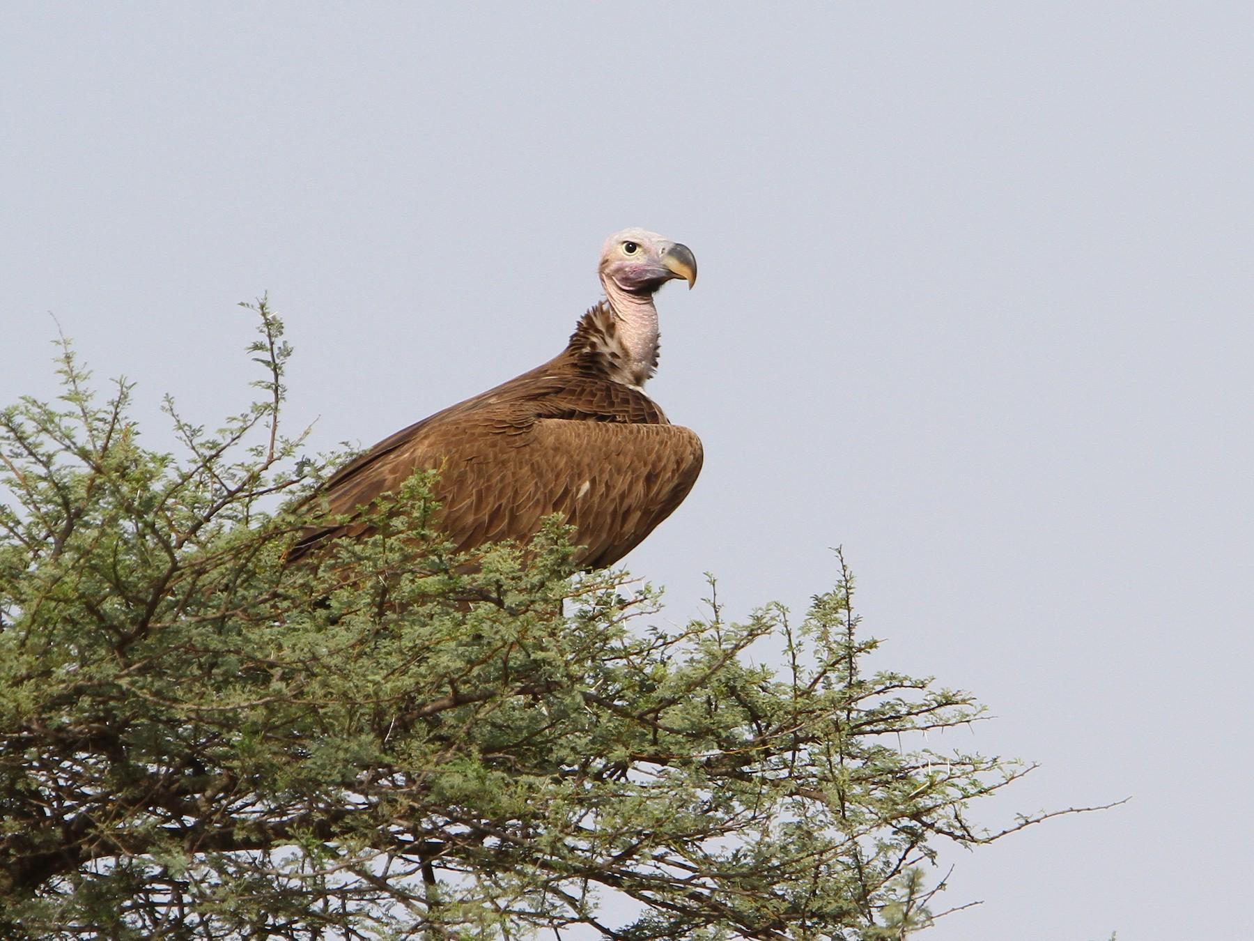 Lappet-faced Vulture - Christoph Moning