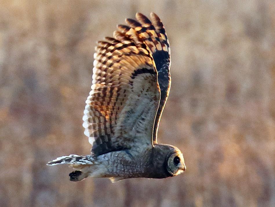 Marsh Owl - Dan Vickers