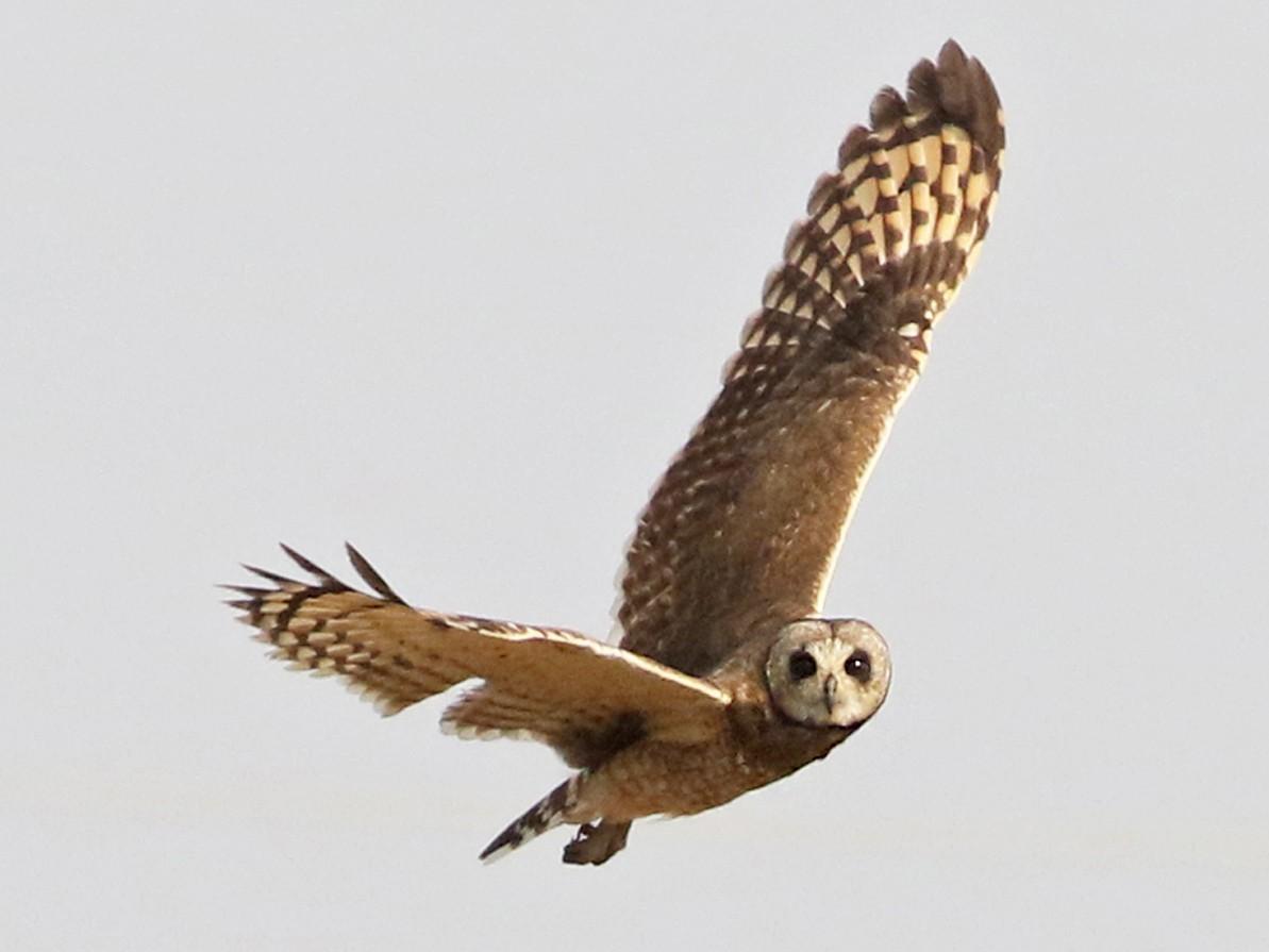 Marsh Owl - Charley Hesse TROPICAL BIRDING