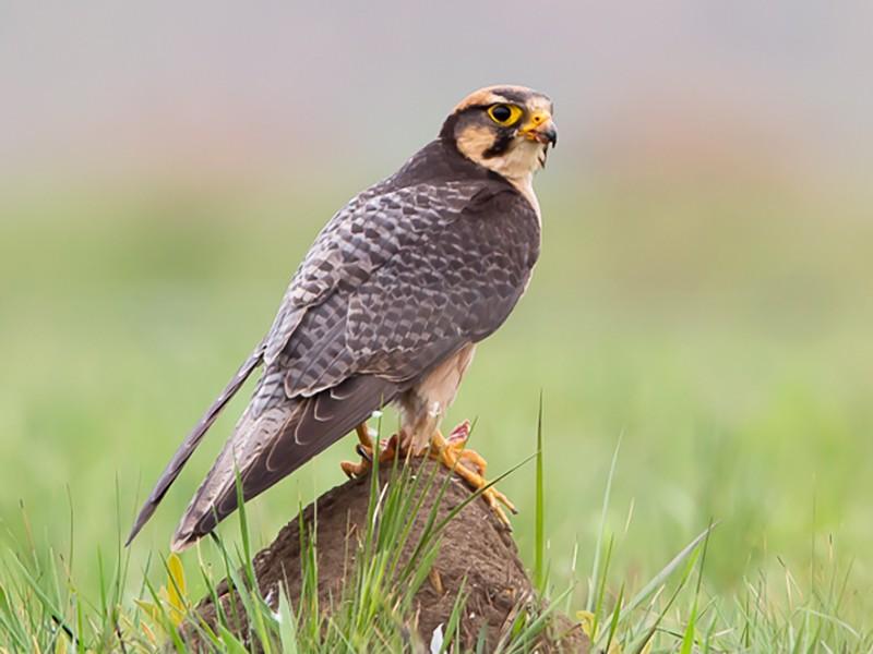 Lanner Falcon - Otto Samwald