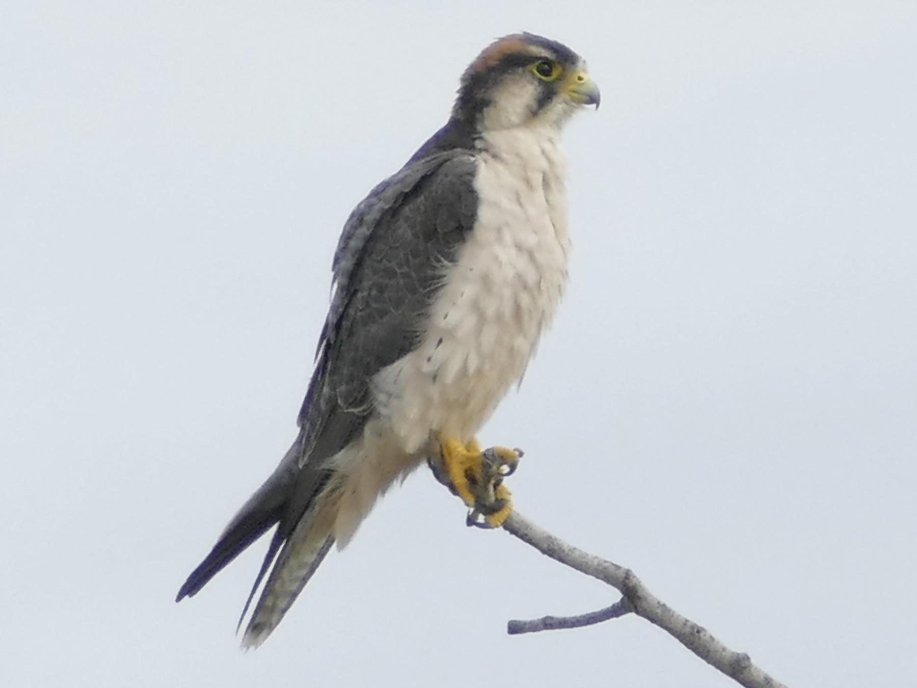 Lanner Falcon - Peter Kaestner