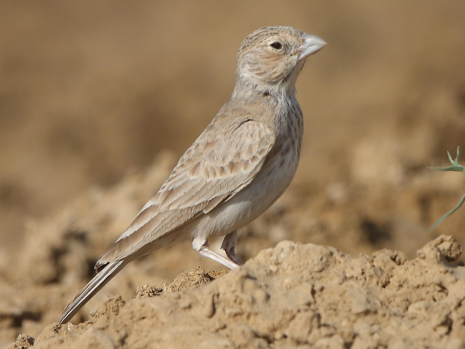 Black-crowned Sparrow-Lark - Albin Jacob