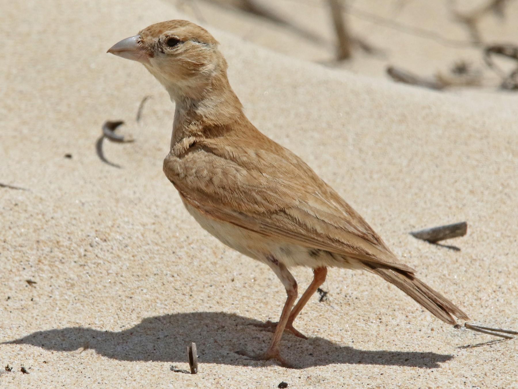 Black-crowned Sparrow-Lark - Volker Hesse