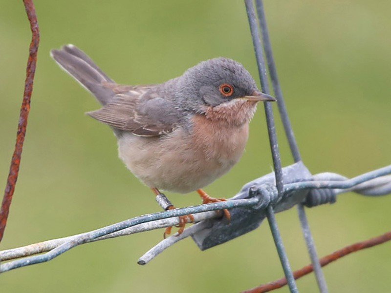 Moltoni's Warbler - Paul Chapman