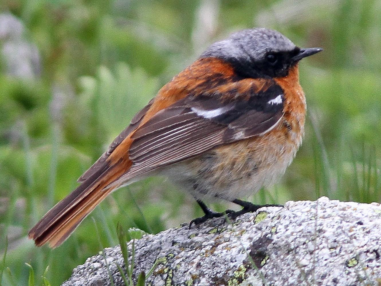 Rufous-backed Redstart - John Martin
