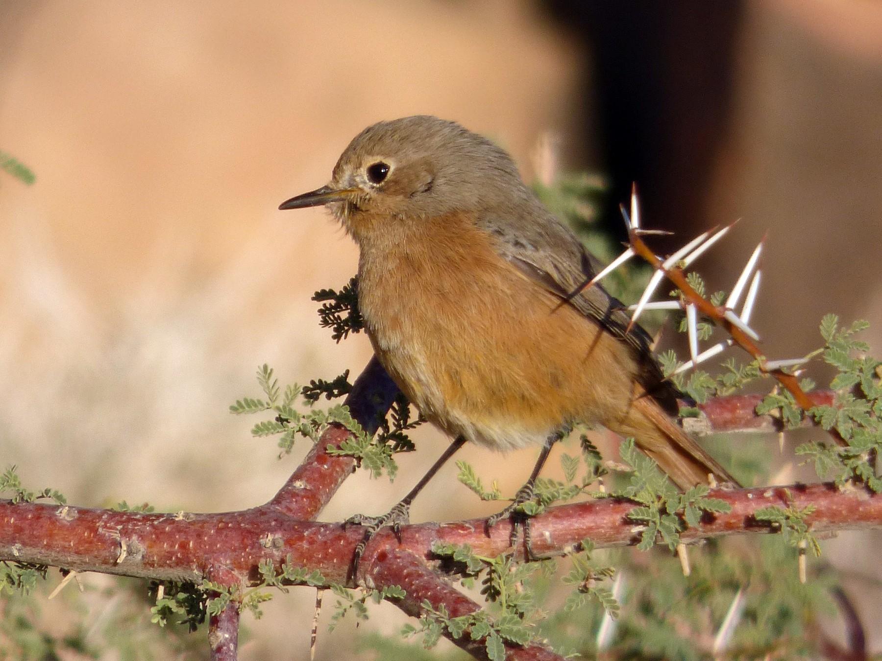 Moussier's Redstart - Thibaut RIVIERE