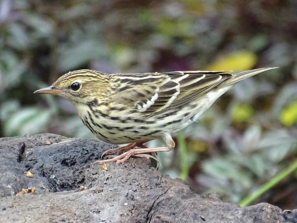 Pechora Pipit - Tom Liao