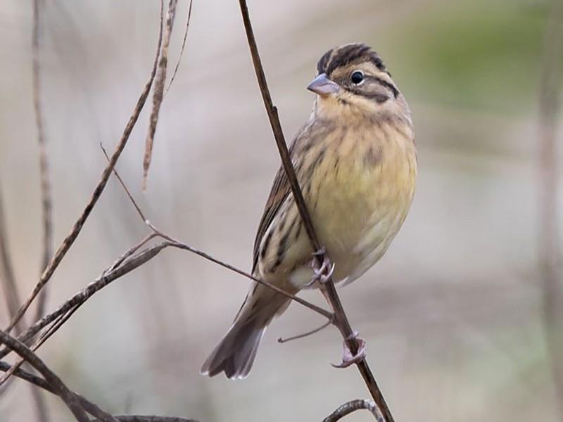 Yellow-breasted Bunting - Kai Pflug