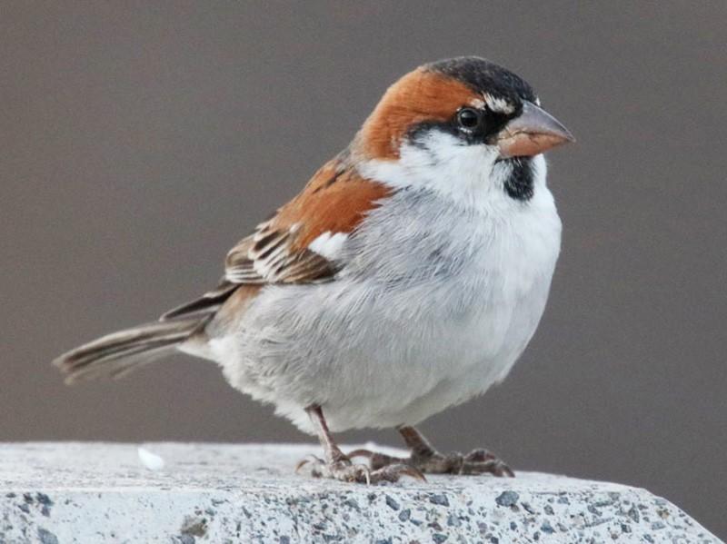 Cape Verde Sparrow - Noah Strycker
