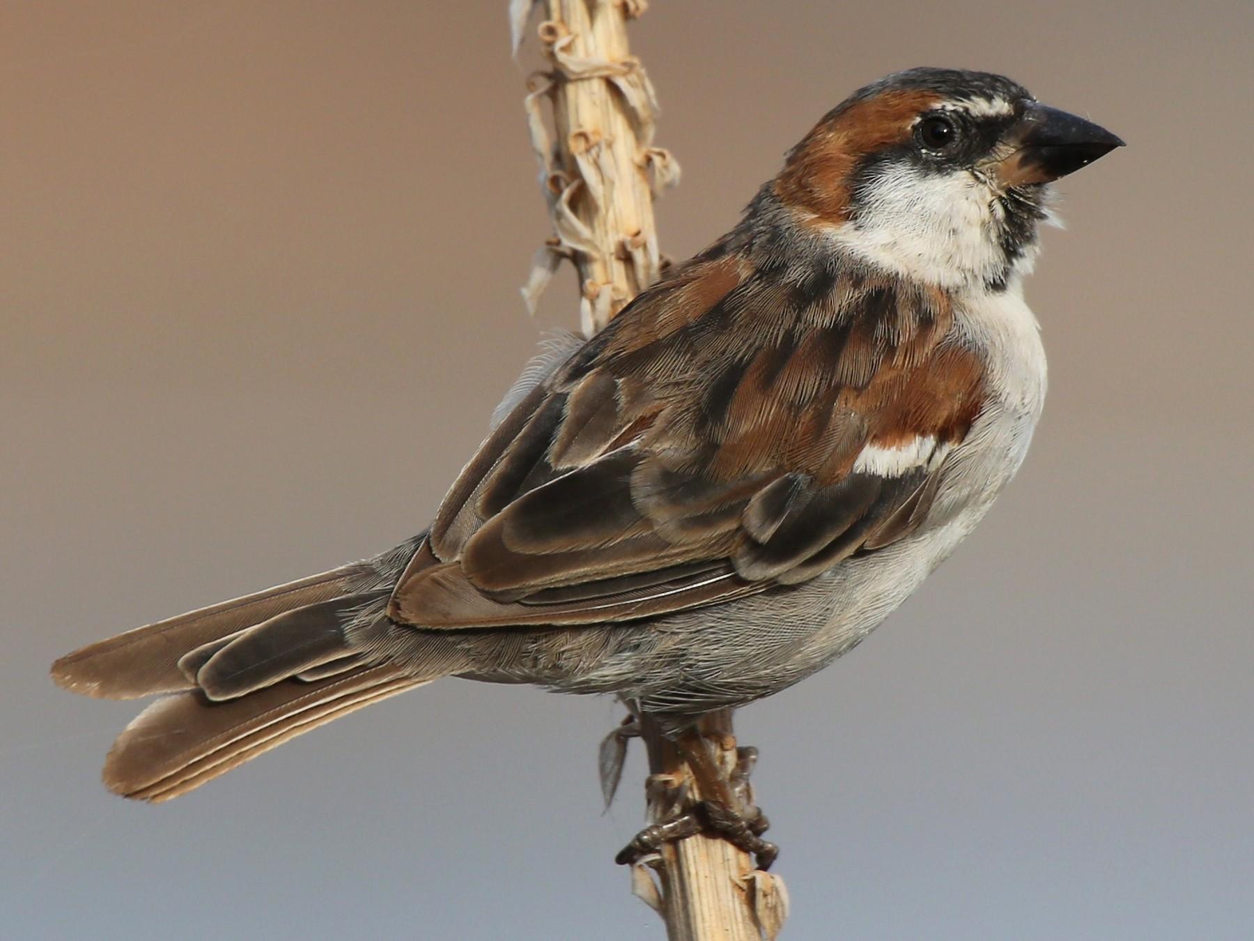 Cape Verde Sparrow - Paul Chapman