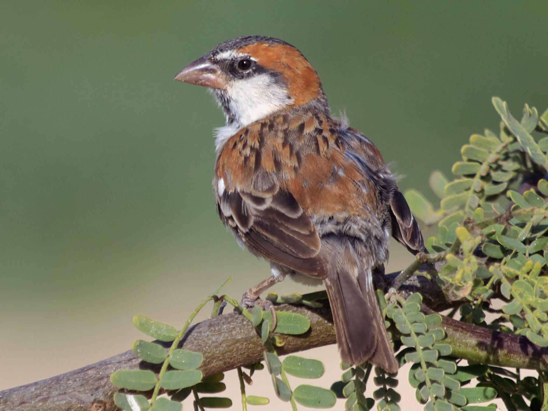 Cape Verde Sparrow - Bengt Ahgren