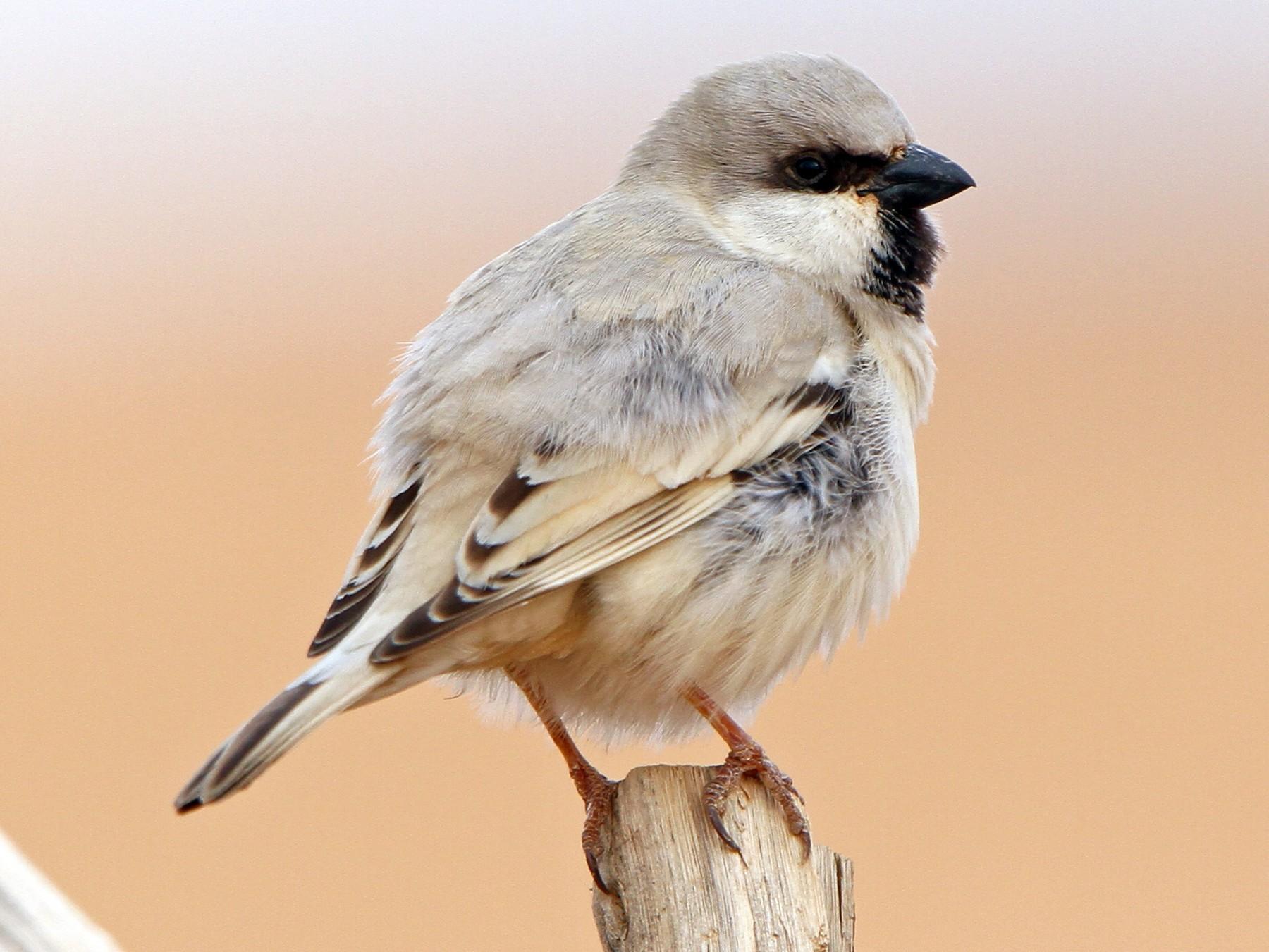 Desert Sparrow - Christoph Moning