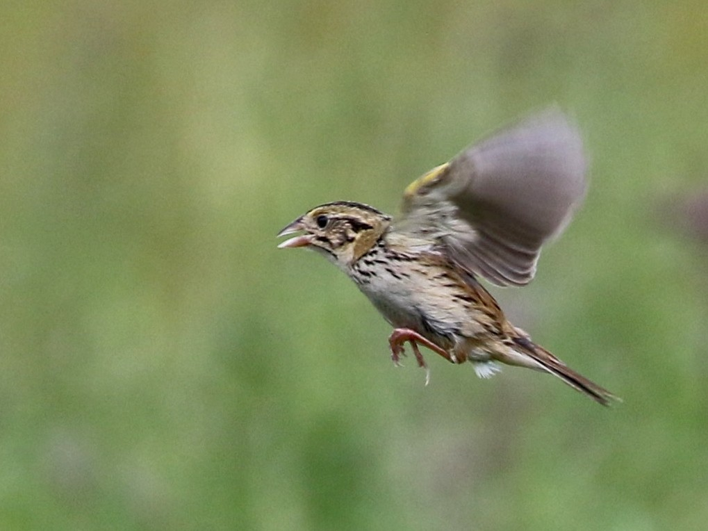 Henslow's Sparrow - Dan Rottino