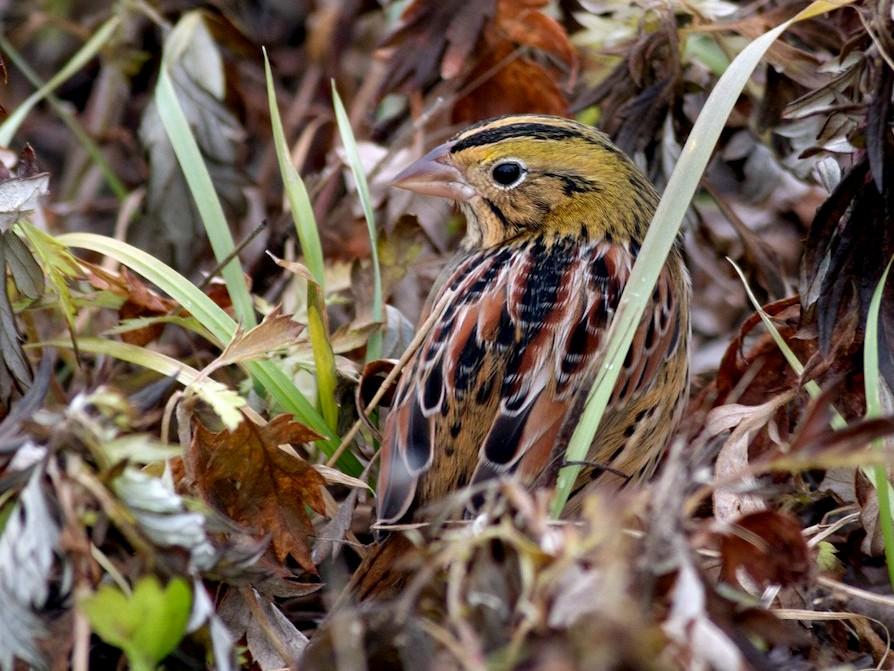 Henslow's Sparrow - Jacob Drucker