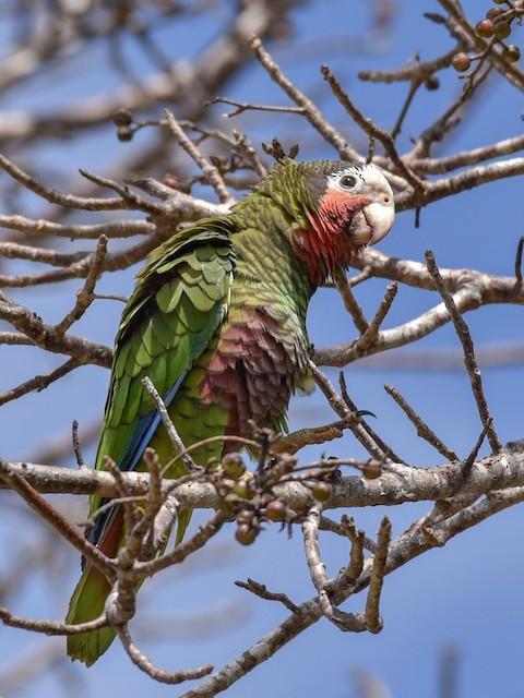 Cuban Parrot (Cuban)