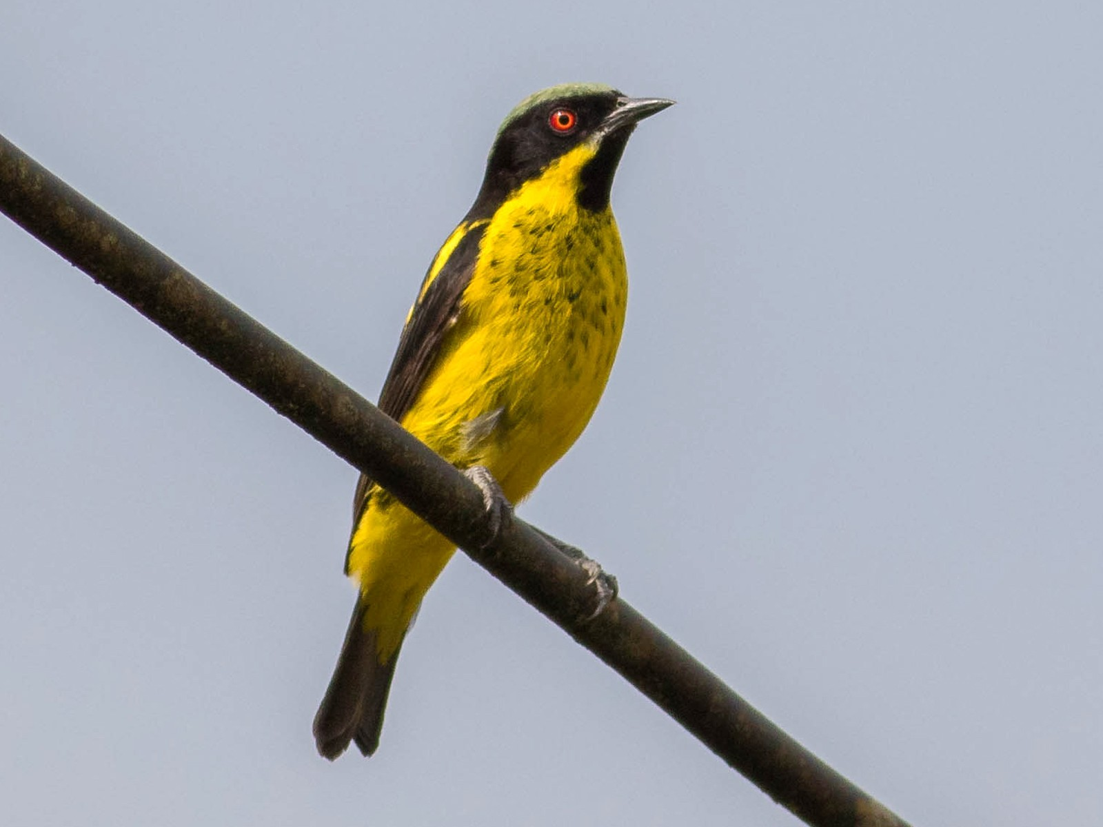 Yellow-bellied Dacnis - Noah Frade