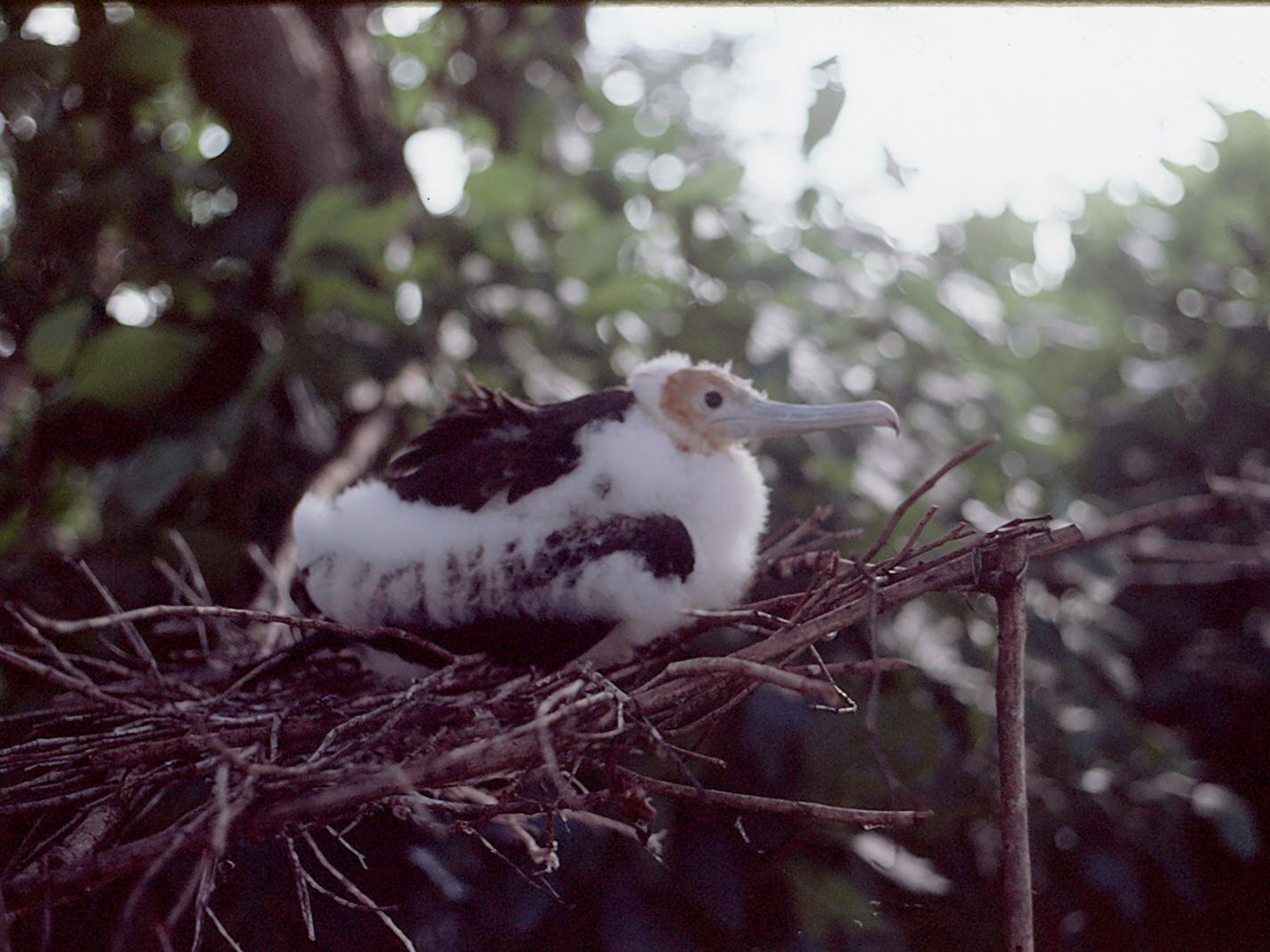 Christmas Island Frigatebird - Shelley Altman