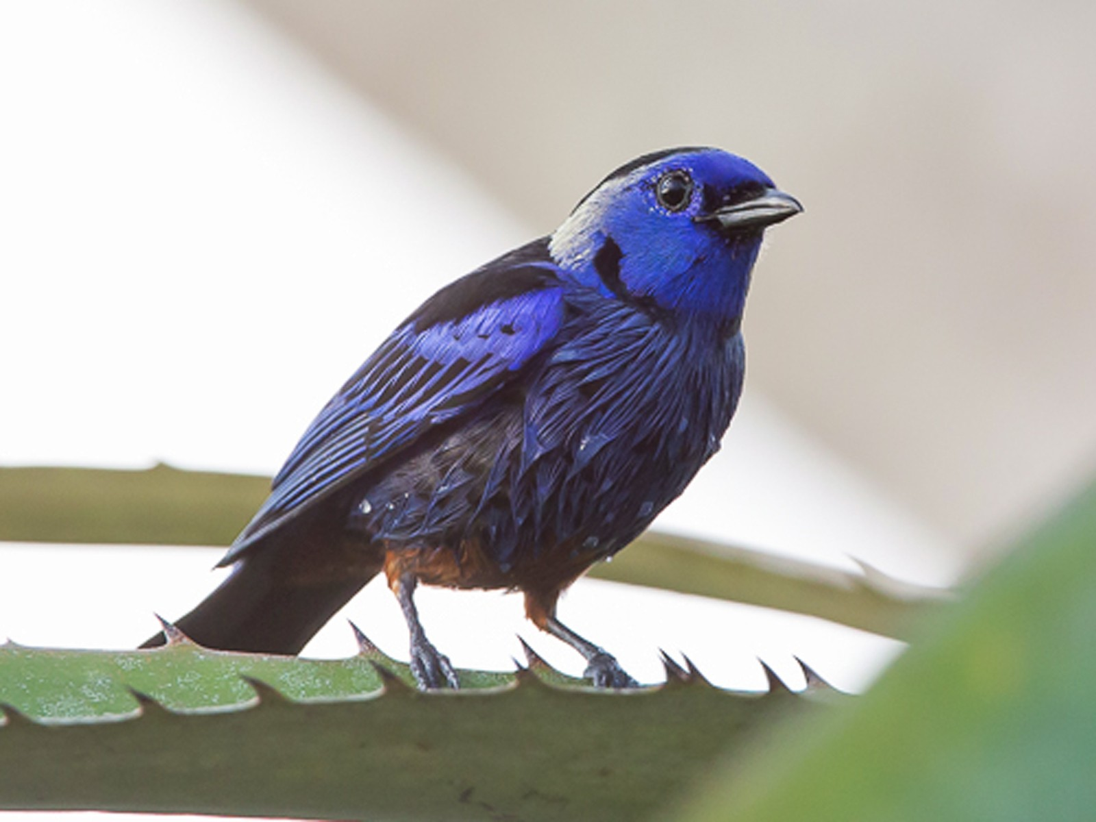 Opal-rumped Tanager - Otto Samwald