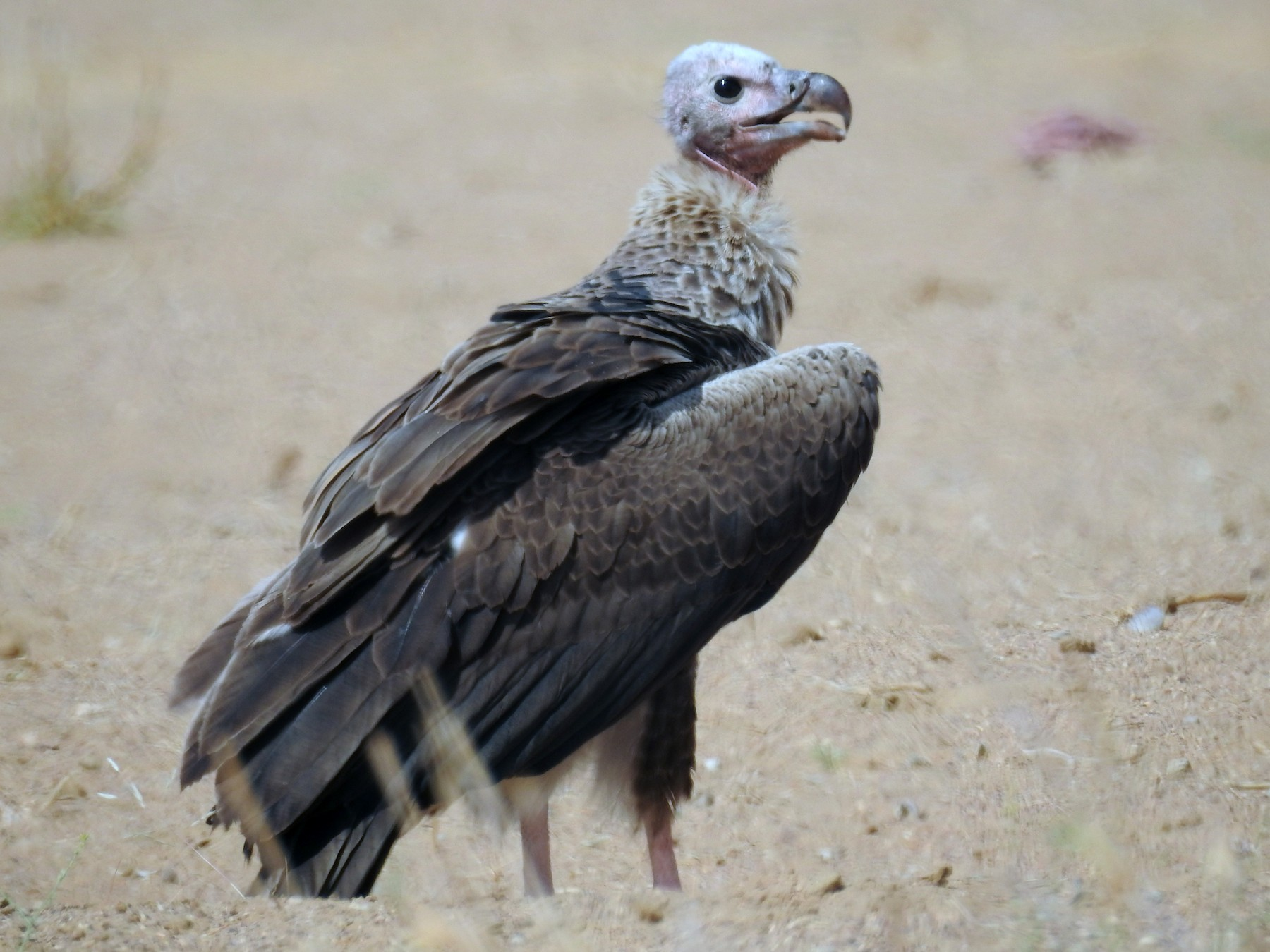 Red-headed Vulture - Ruma Sinha