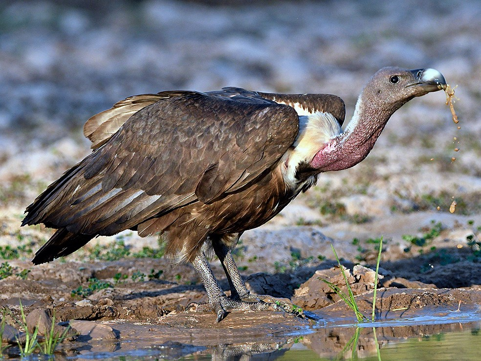 White-rumped Vulture - Chaiyan Kasorndorkbua
