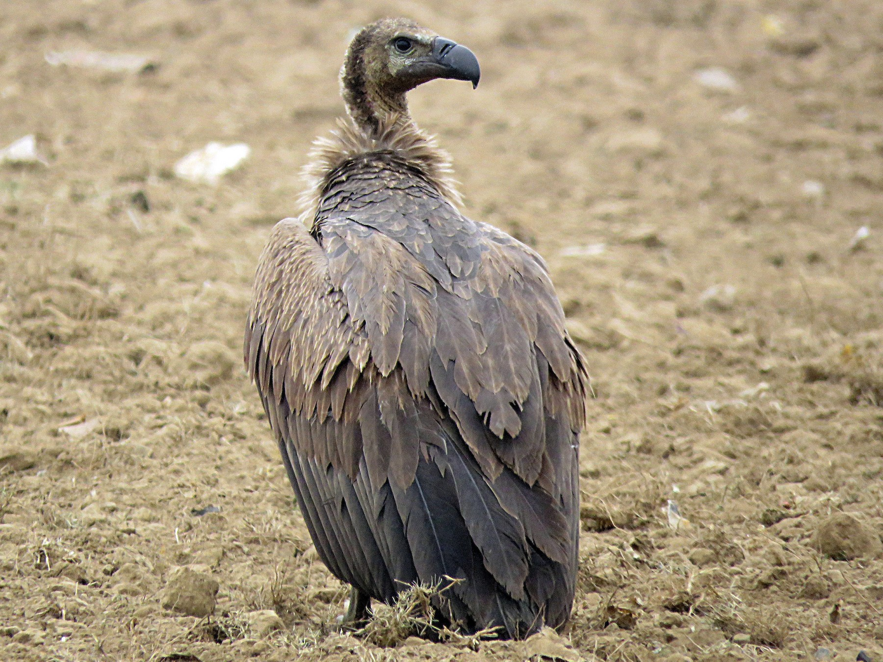 White-rumped Vulture - Ritvik Singh
