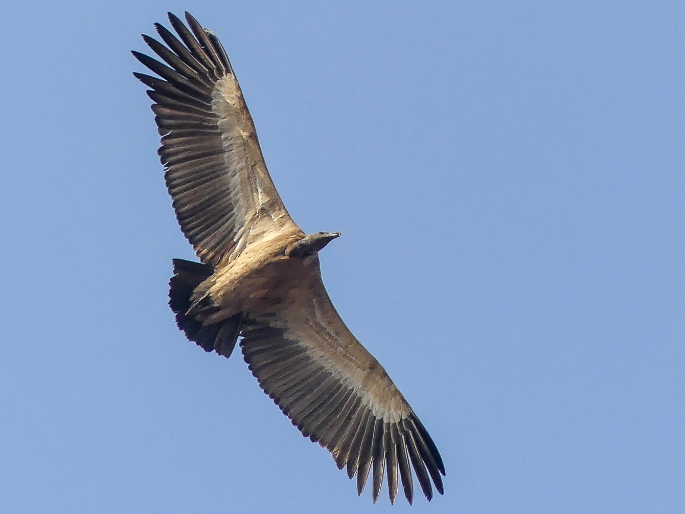 Indian Vulture - Mike Prince