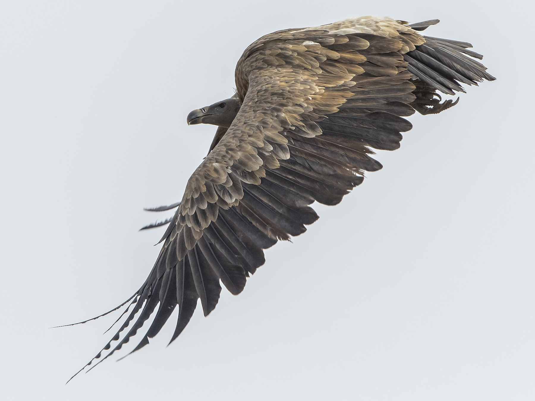 Indian Vulture - Amol Marathe
