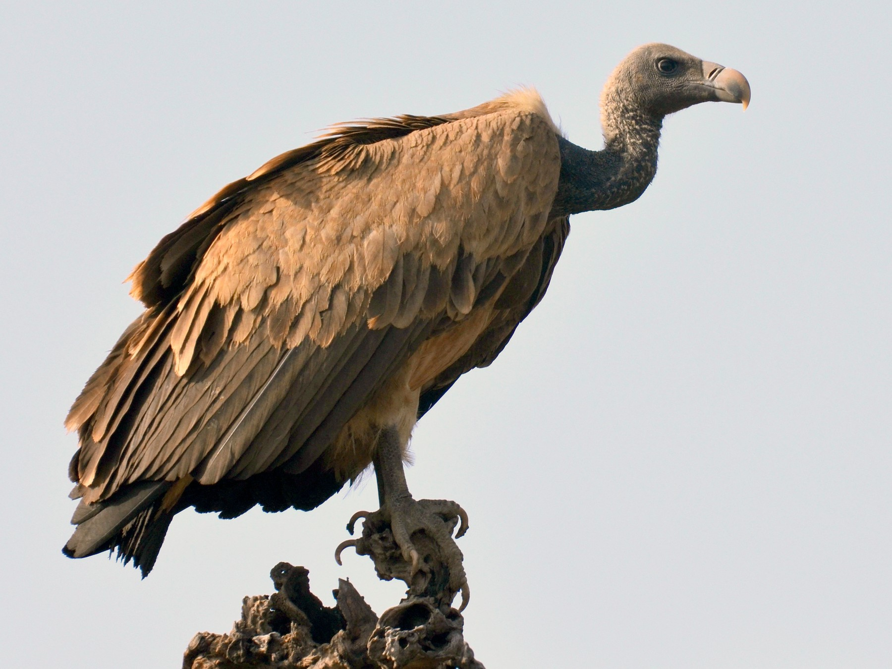 Indian Vulture - Hakimuddin F Saify