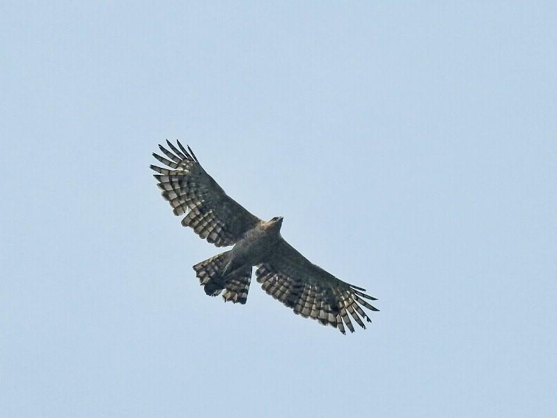 Legge's Hawk-Eagle - Abhijeet Rasal