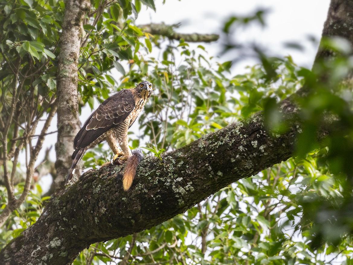 Legge's Hawk-Eagle - Arun Ahuja