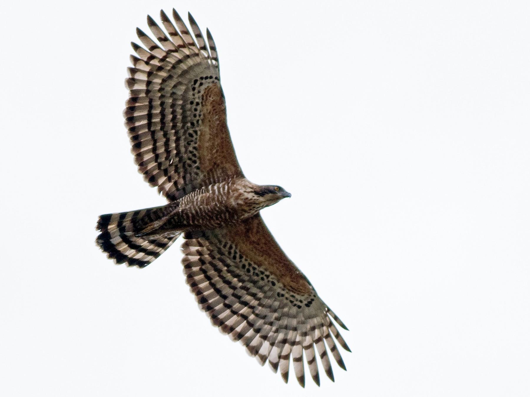 Legge's Hawk-Eagle - Praveen es