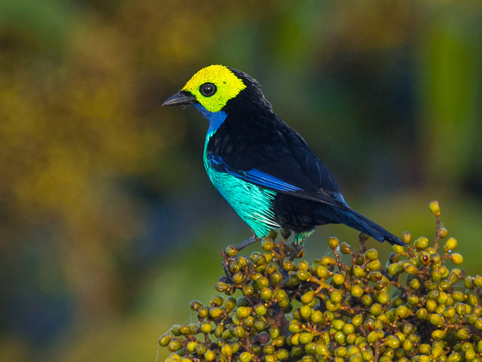 Paradise Tanager - Joao Quental JQuental