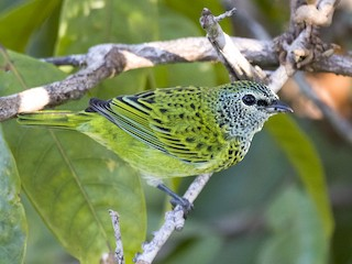 - Spotted Tanager