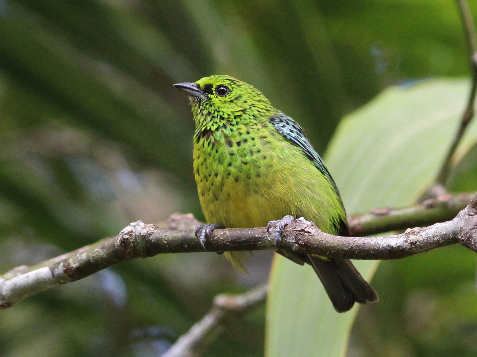 Yellow-bellied Tanager - Oscar  Johnson