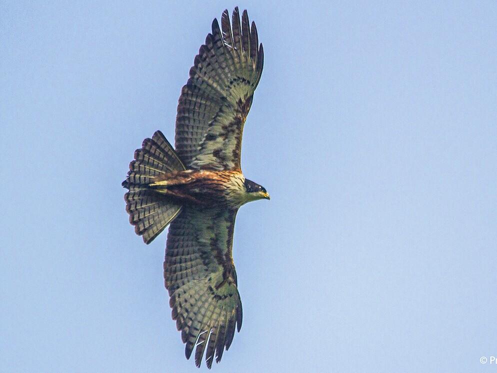 Rufous-bellied Eagle - Prashant Kumar