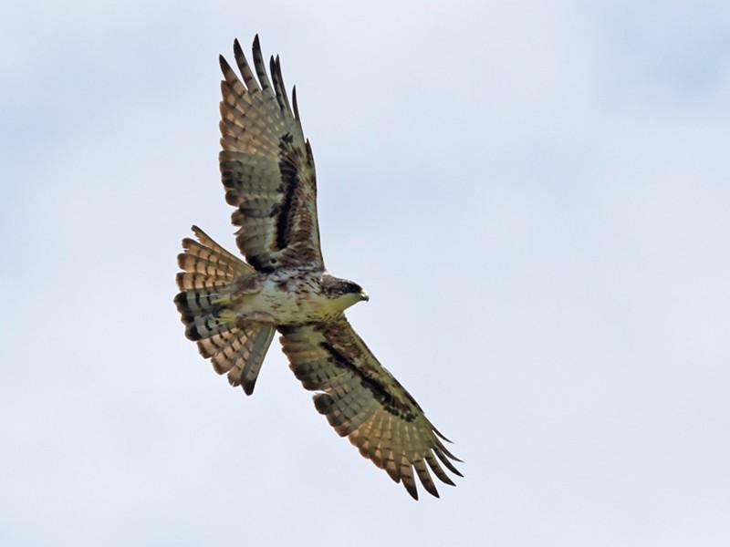 Rufous-bellied Eagle - Joshua Vandermeulen