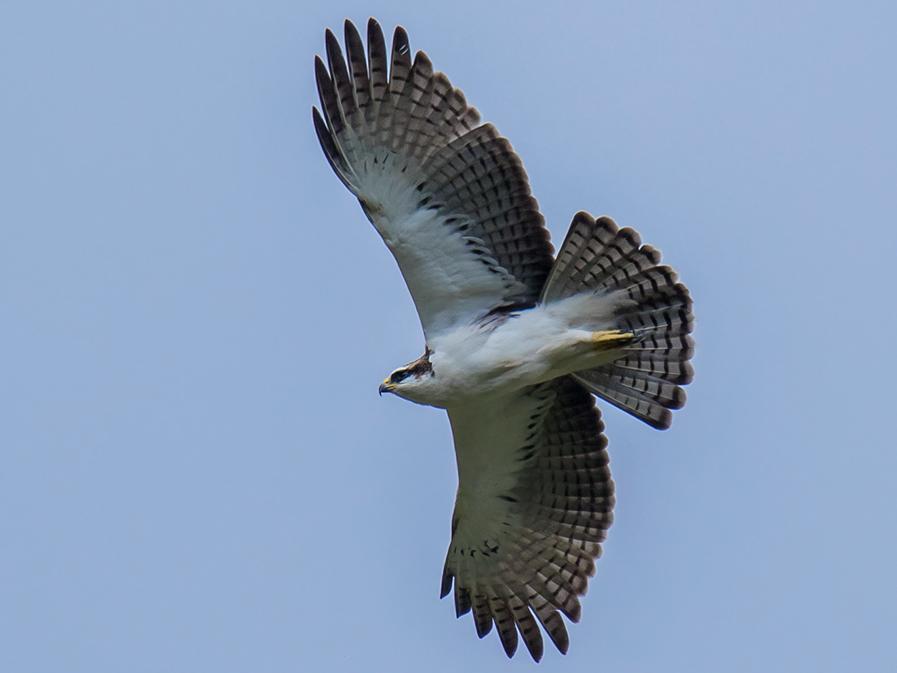 Rufous-bellied Eagle - Wich'yanan (Jay) Limparungpatthanakij