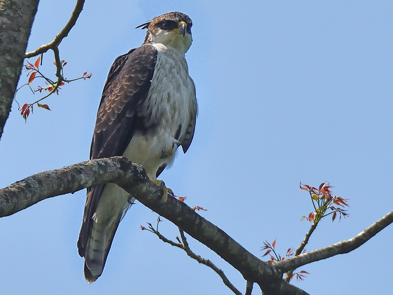 Rufous-bellied Eagle - Polly Kalamassery