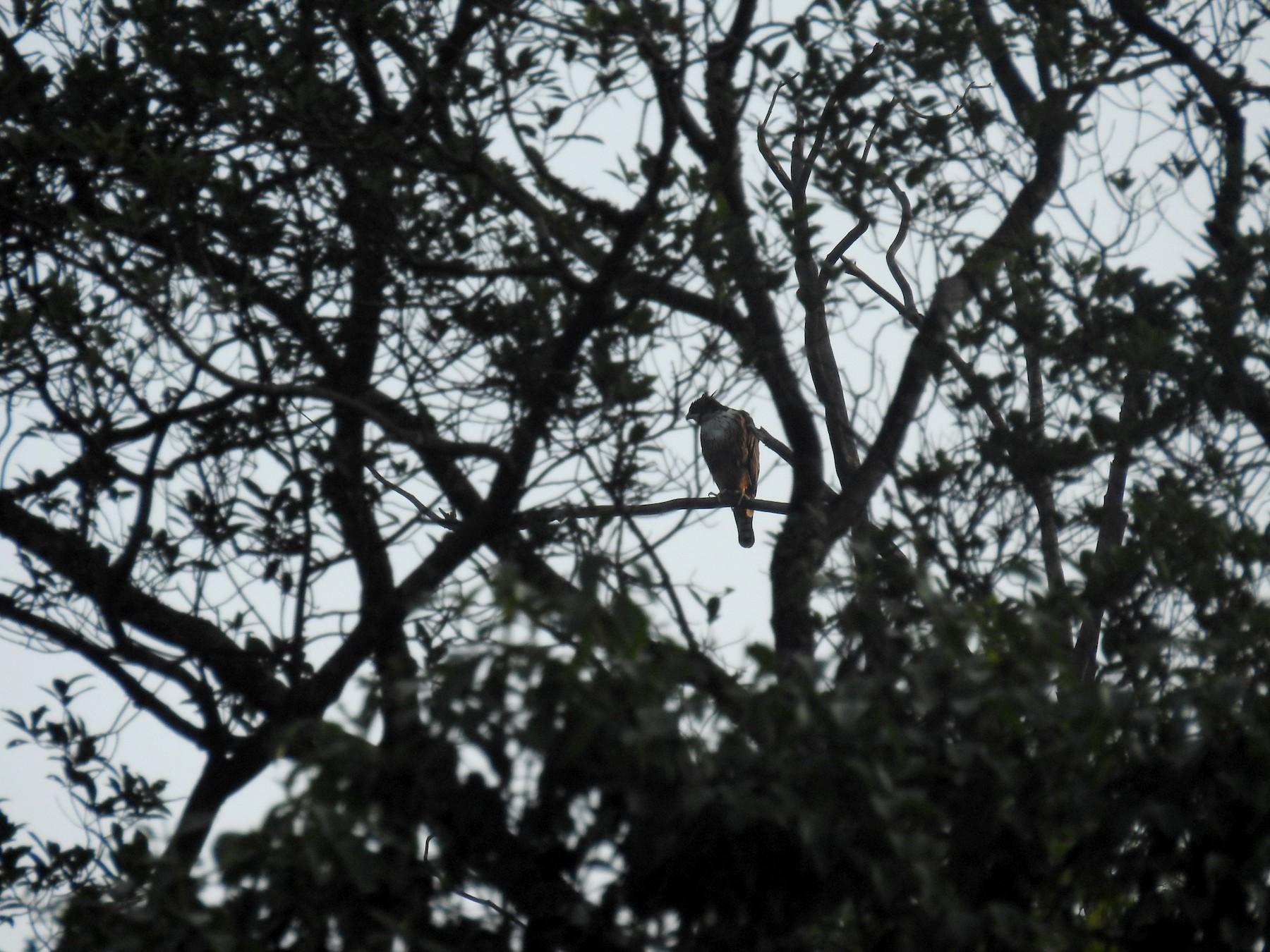 Rufous-bellied Eagle - Ashwin Viswanathan