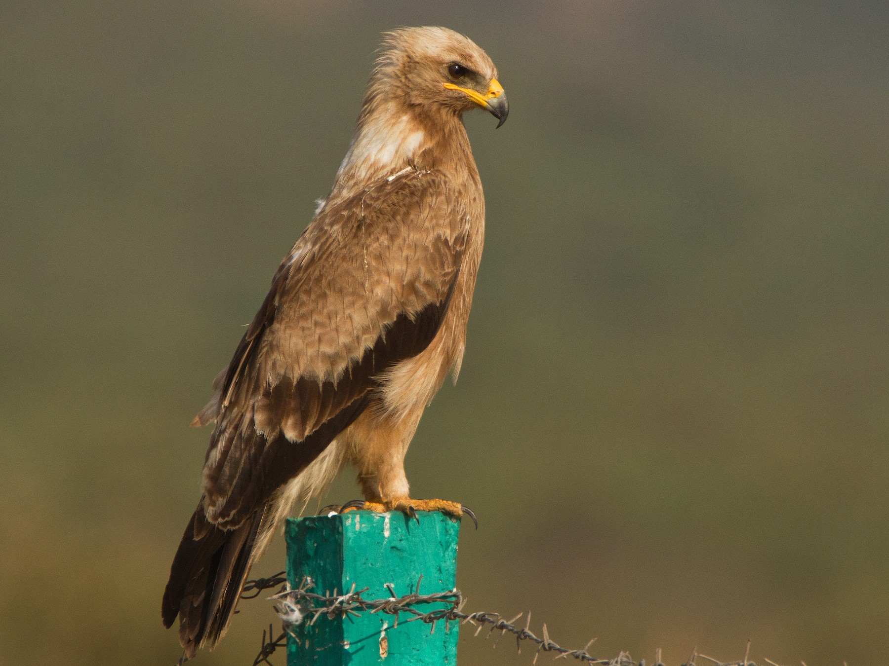 Indian Spotted Eagle - Muthu Narayanan