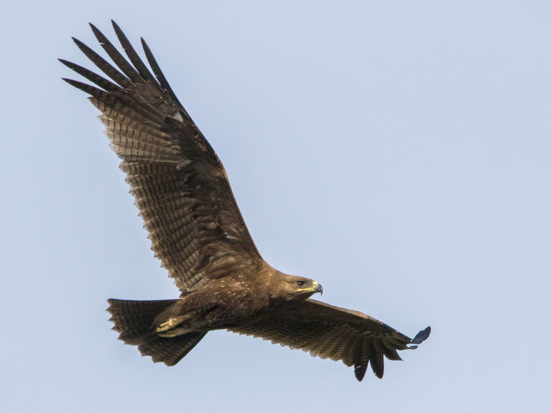 Indian Spotted Eagle - Mohith Shenoy