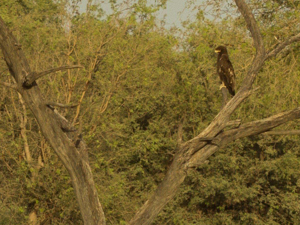 Indian Spotted Eagle - Ramit Singal