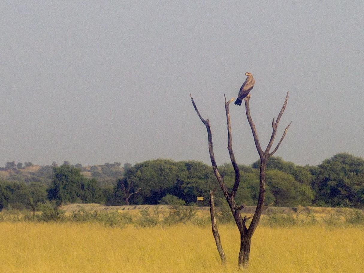 Tawny Eagle - Ramit Singal