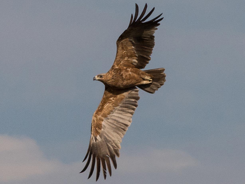Tawny Eagle - Simon Carter