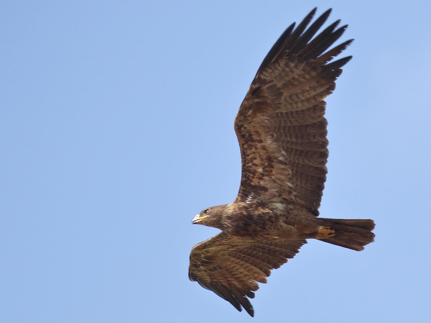 Tawny Eagle - Rahul  Singh