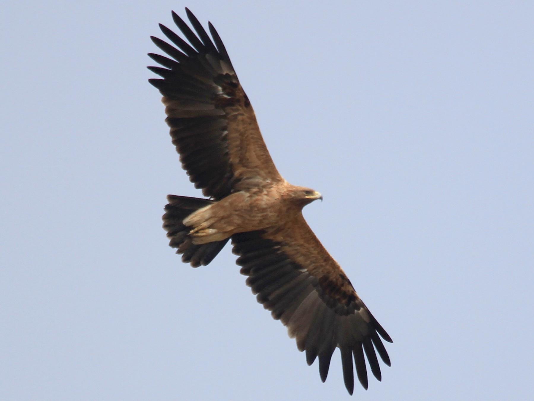 Tawny Eagle - Vijaya Lakshmi