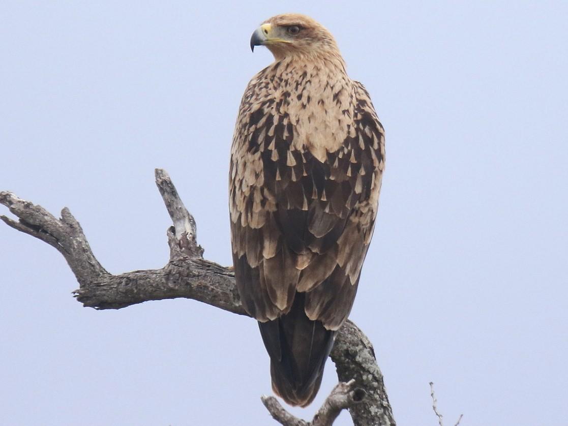 Tawny Eagle - Thompson Ian