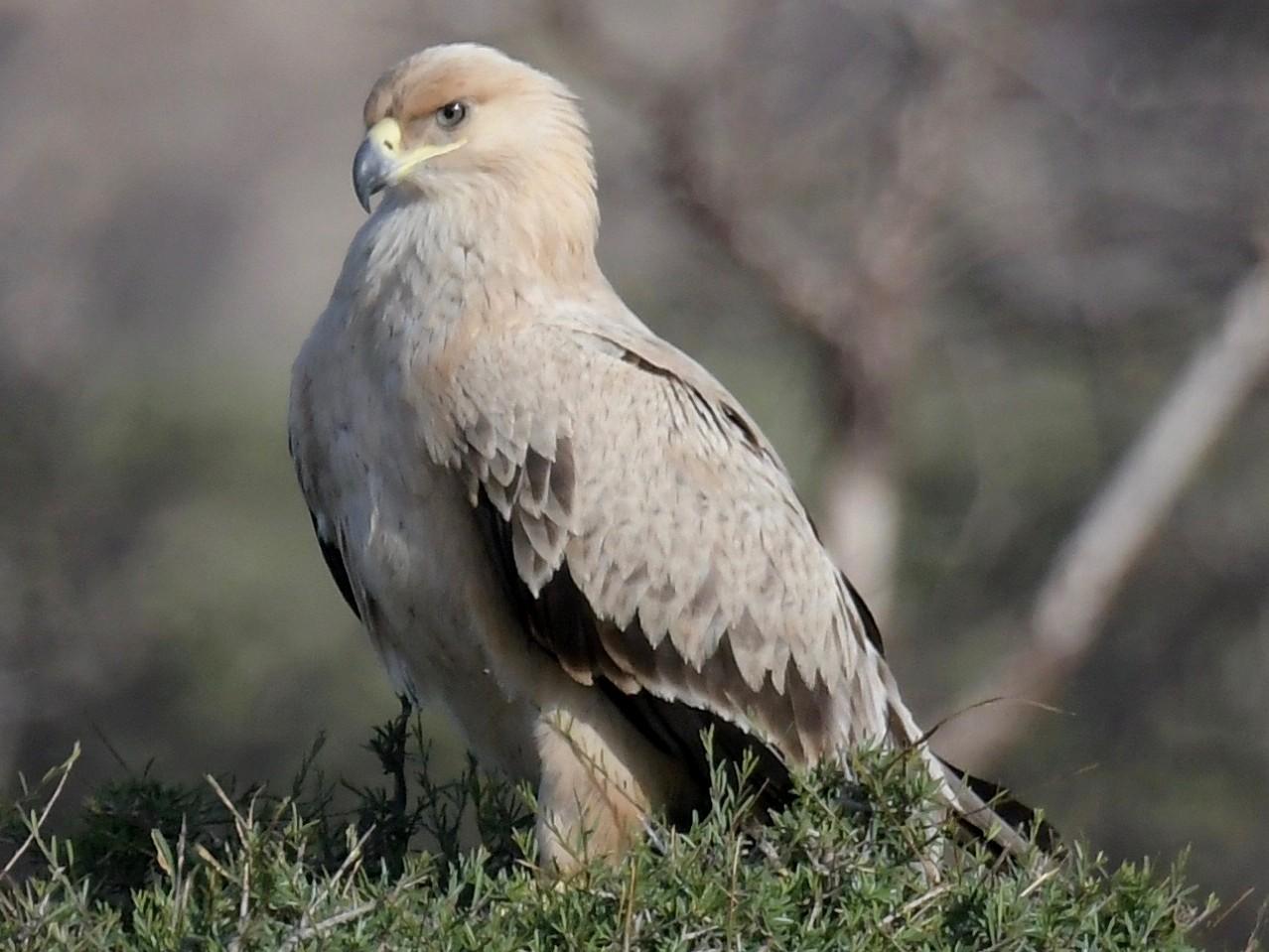 Tawny Eagle - Haynes Miller
