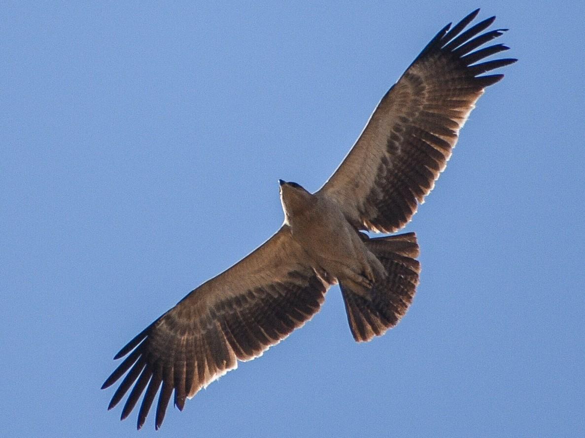 Tawny Eagle - Rajat Chordia
